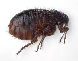 perth flea control joondalup